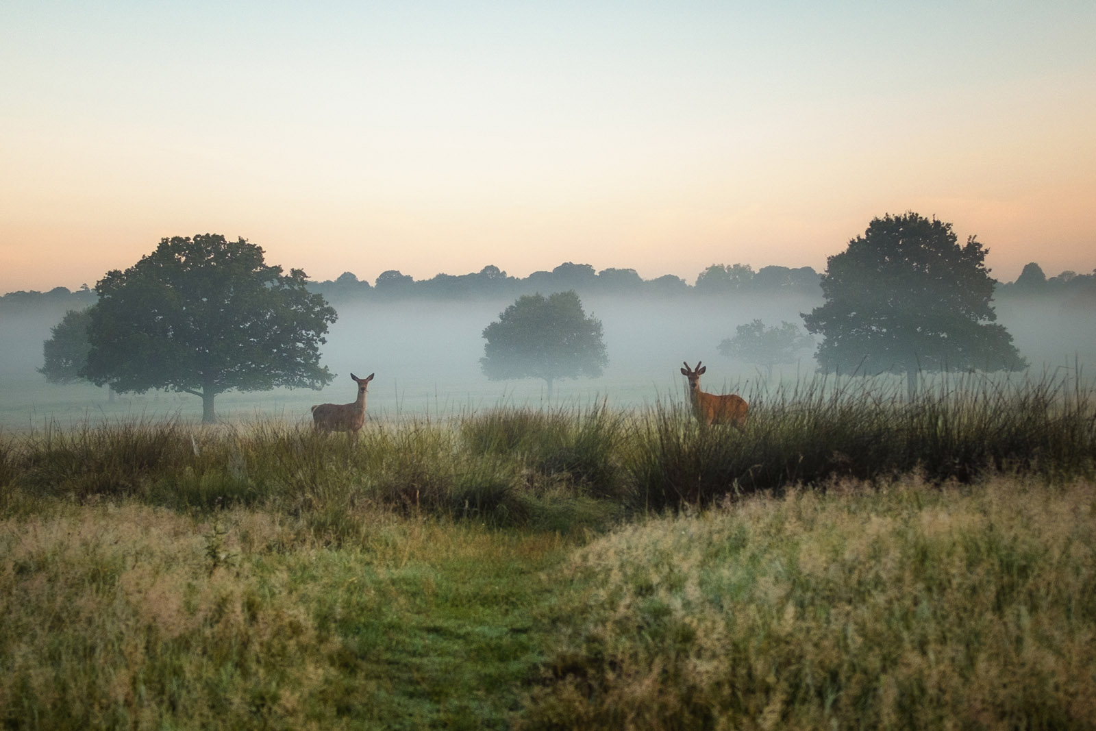 Two deer in the mist, Richmond Park